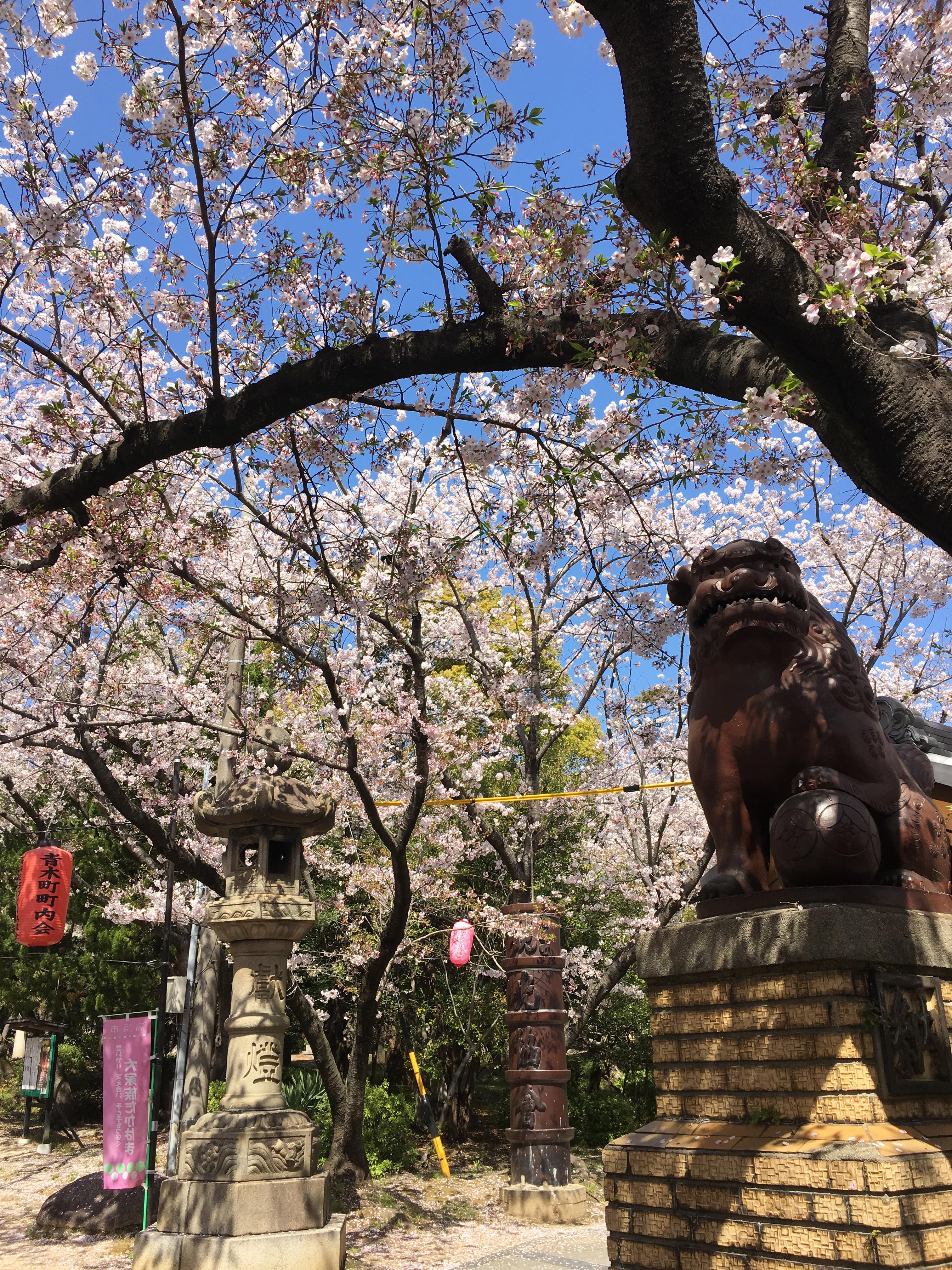 桜咲く、そして花水木も
