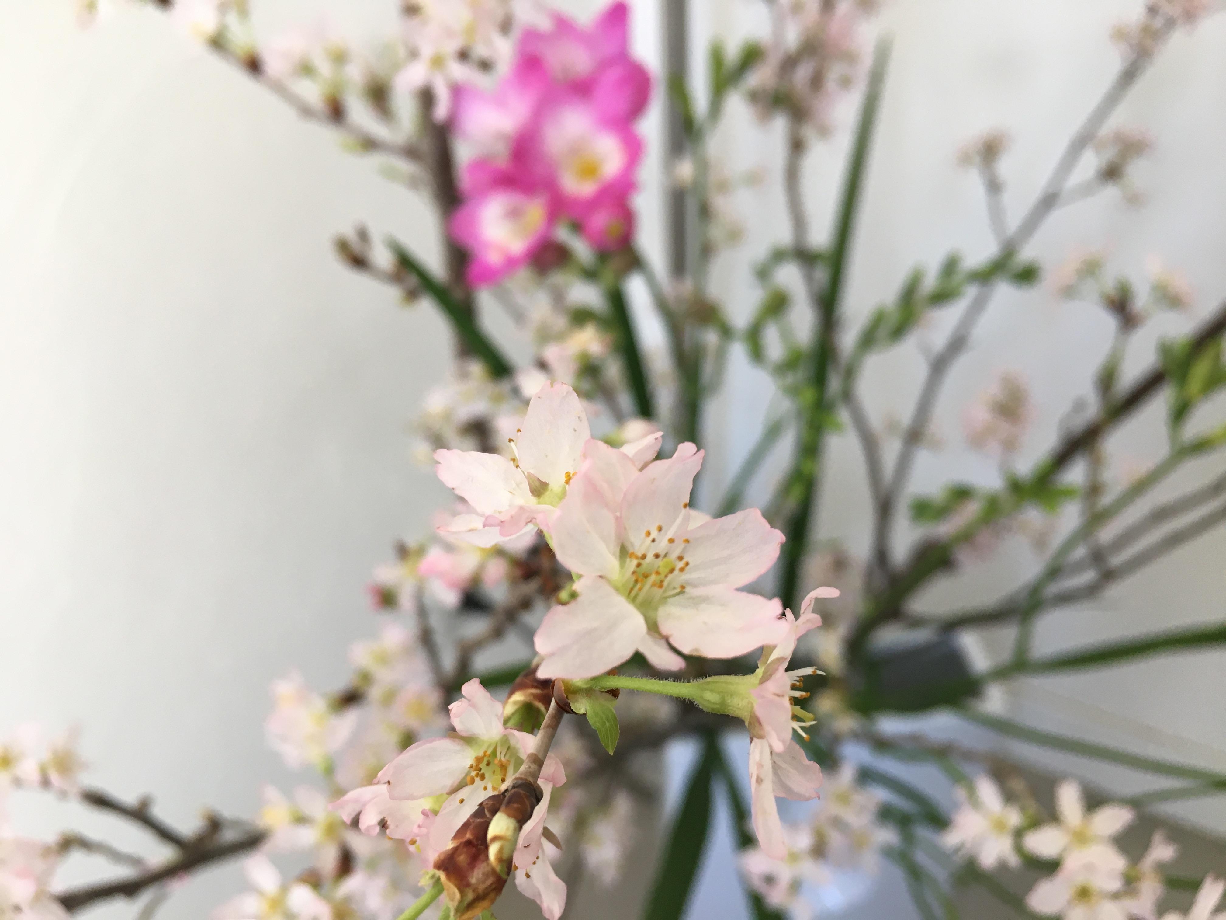 桜がここに咲いていました!