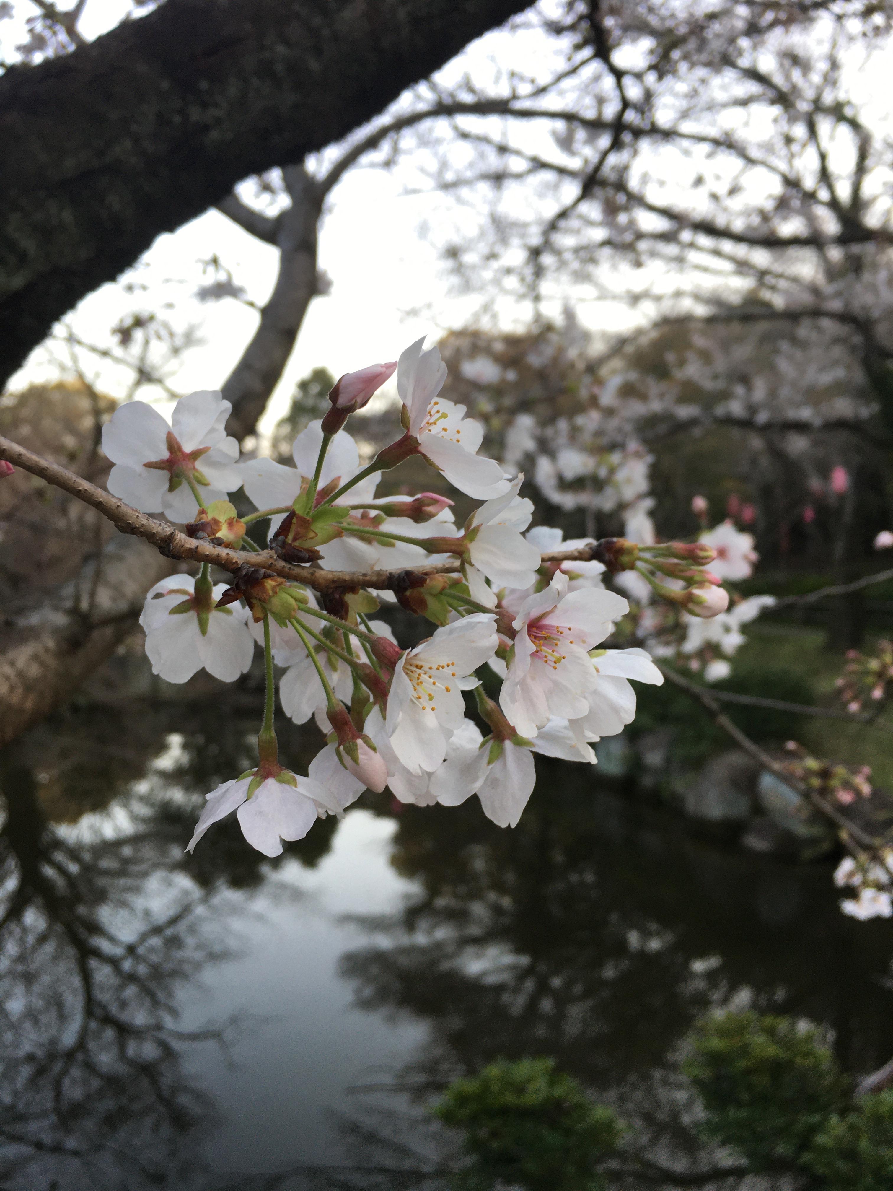桜はまだまだでした。
