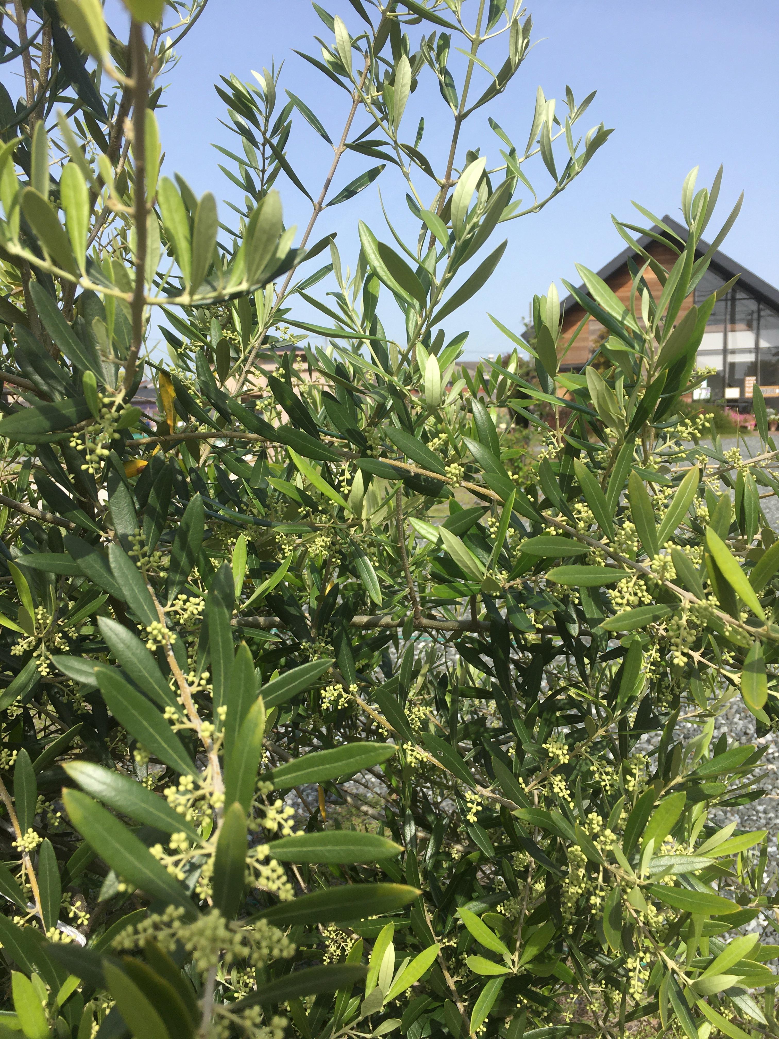 オリーブの木に「つぼみ」がたくさん付いています。