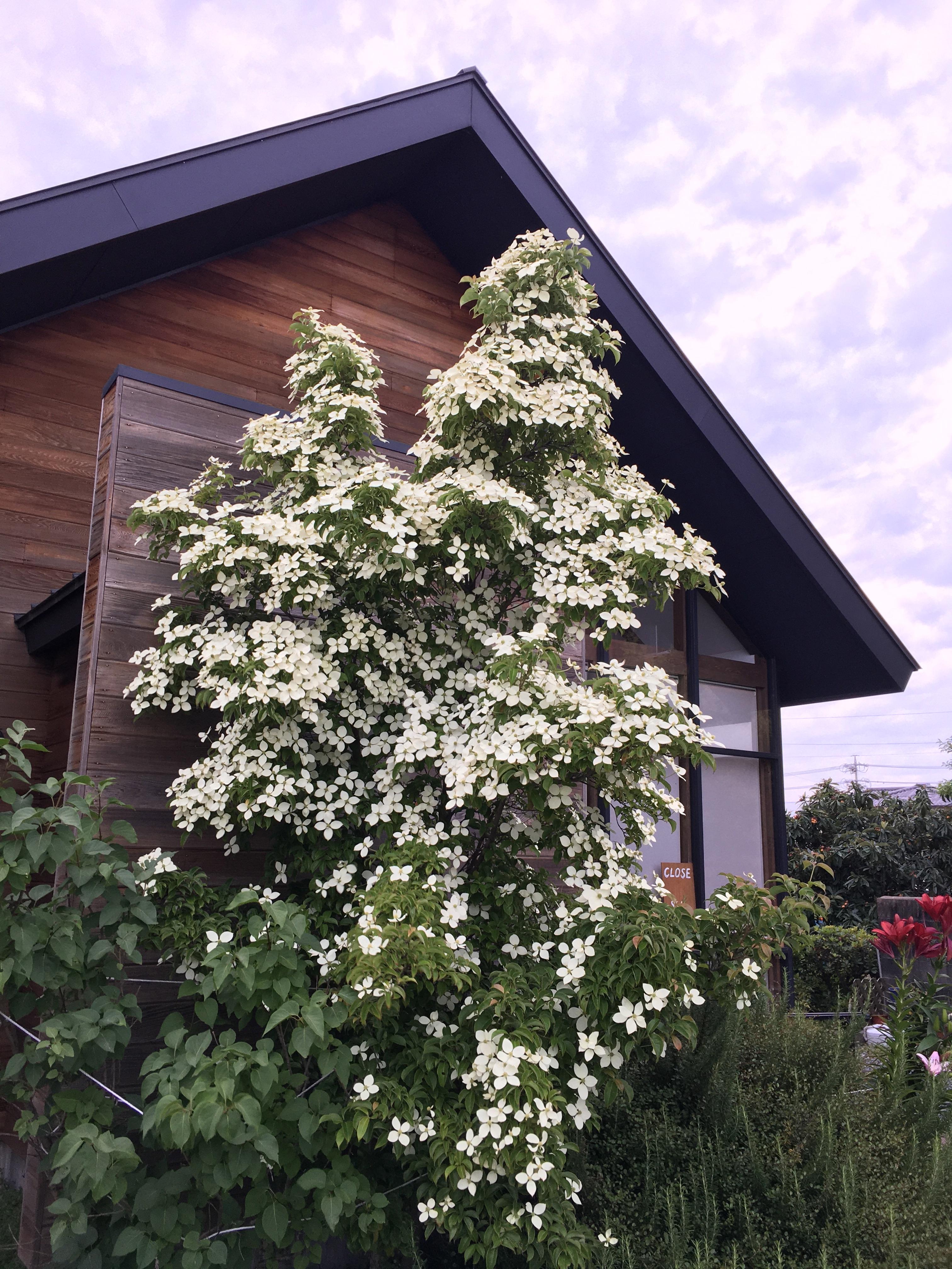 ヤマボウシの花が白く綺麗に咲いています。