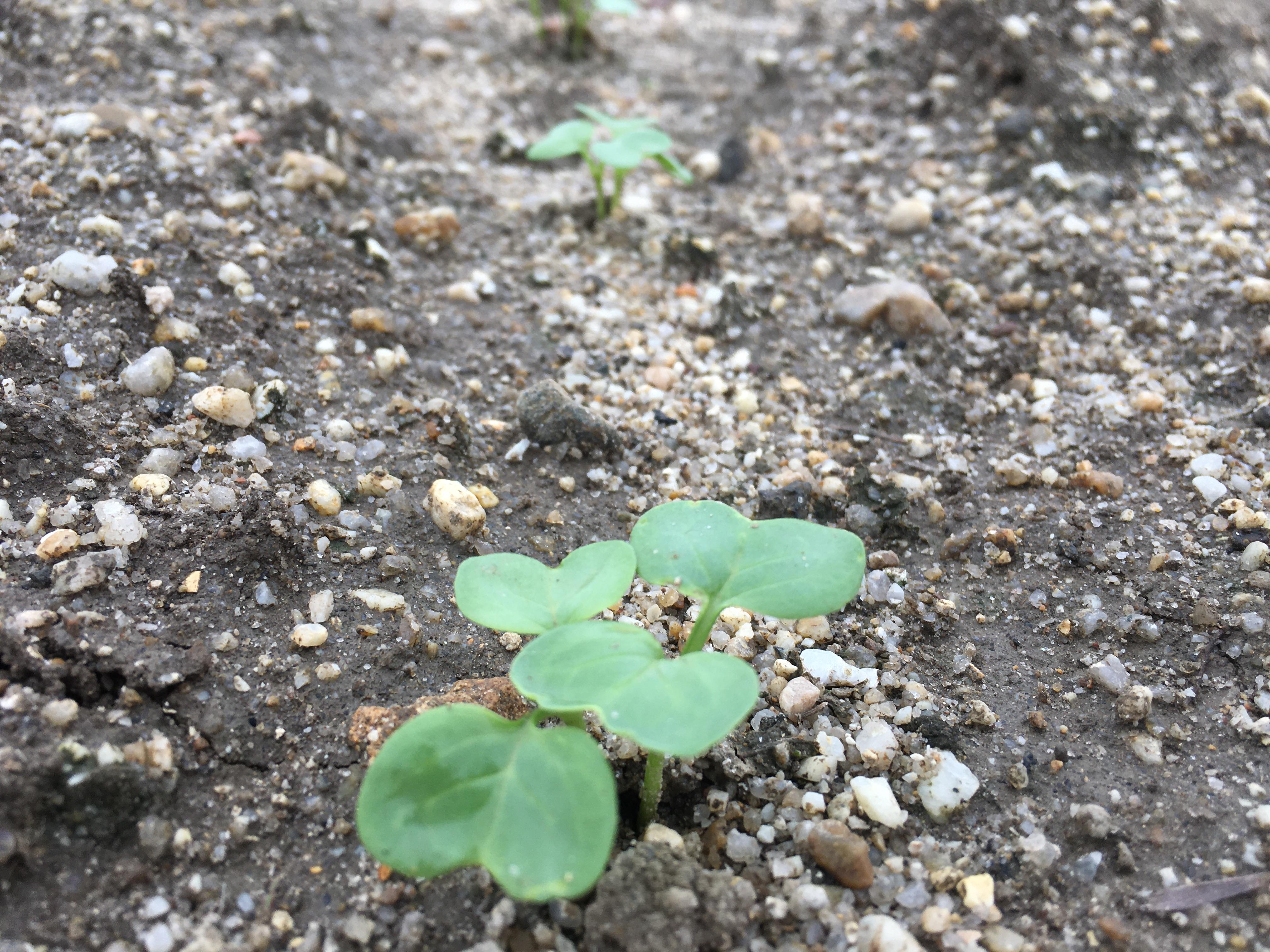 野菜の新芽